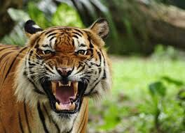 Maybe love for TIGERS
