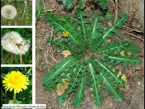 Diente de Leon Son Asombrosos sus propiedades y beneficios para tu salud! Una Sola Hojita De Esta Hierba Que Esta En Todo Jardín Puede Salvarle La Vida En Un...