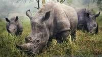 Esta imagen de rinocerontes blancos fue tomada por Stefane Berube.