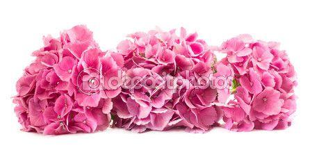 Tre fiori di Ortensia sopra bianco — Immagini Stock #114912476
