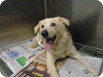 Los Angeles, CA - Golden Retriever Mix. Meet A1676221, a dog for adoption. http://www.adoptapet.com/pet/17435626-los-angeles-california-golden-retriever-mix