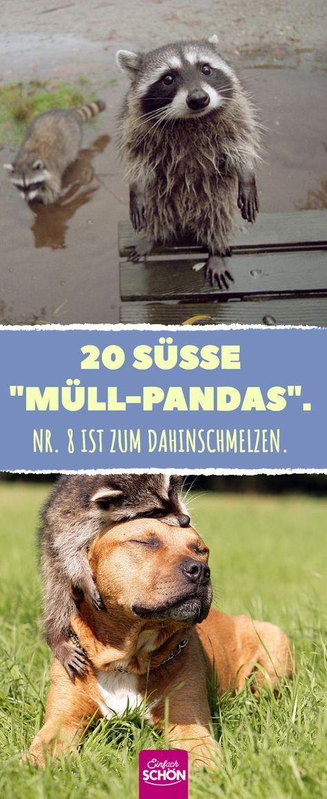 """20 sweet """"garbage pandas"""". # raccoon # raccoons # wild # wild animal #beastfriend"""