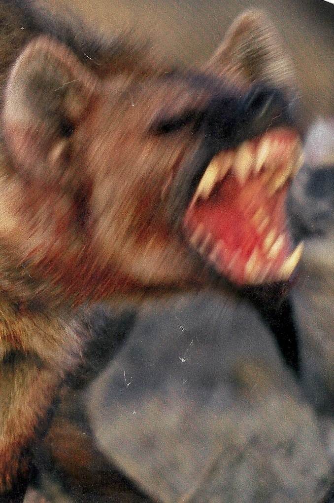 Contemporary memoirs said hyenas were plentiful in the medieval Middle East -- and they're the scariest animals I can imagine!  National Geographic -- sorry, no date or photographer.