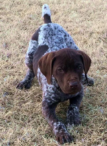 gsp puppies for sale