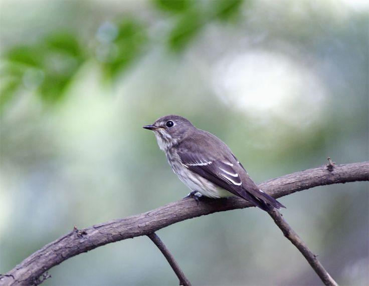 https://flic.kr/p/8cs1i2 | #608 灰鶲環暈 | 灰斑鶲.攝於台灣 台北植物園 Gray-spotted Flycatcher, taken at Taipei Botanical Graden, TAIWAN