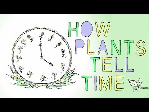 How plants tell time? Morning glories unfurl their petals like clockwork in the early morning. A closing white waterlily signals that it's late afternoon. And moon flowers, as their name suggests, only bloom under the night sky. What gives plants this innate sense of time? Dasha Savage investigates how circadian rhythms act as an internal timekeeper for flora and fauna alike.