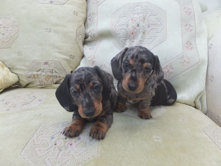 Miniature Smooth Silver Dapple Dachshund Puppies Dapple