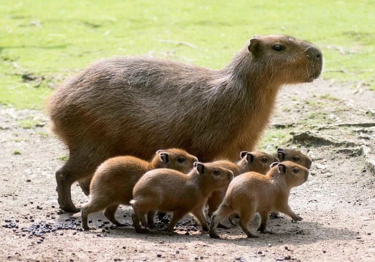 The Capybara, a large rodent native to South America, is capable of running as fast as a horse | Images by Zoo Berlin