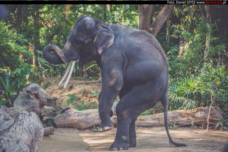 Tajlandia – Chiang Mai  – Pokazy słoni