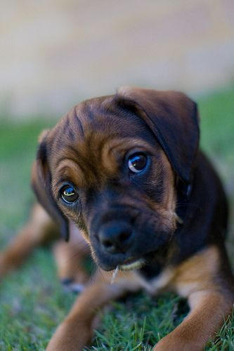 Puggle pup - Beagle/Pug mix