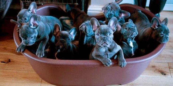 As 21 maiores fofuras que aconteceram com um Bulldog Francês