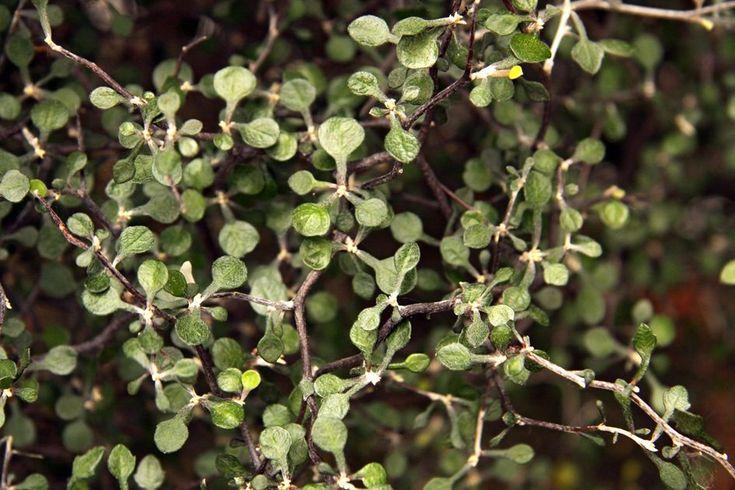 Corokia cotoneaster - Hortipedia