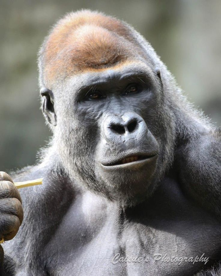 Angry Silverback Gorillas 50 best images about G...