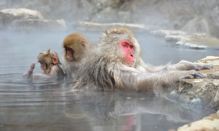 Japanese macaque, commonly referred to as 'snow monkeys', take an open-air hot spring bath, or 'onsen' at the Jigokudani (Hell's Valley) Monkey Park in the town of Yamanouchi, Nagano prefecture on December 7, 2012.
