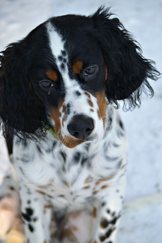 English Setter (Lawerack/Laverack/Llewellin/Blue Belton) - What a gorgeous setter! I'd love to have one just like it!