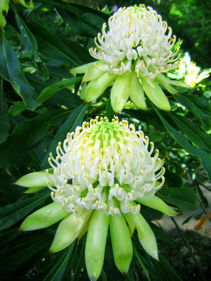 Sarah, these white Waratah may pick up on house highlights nicely.