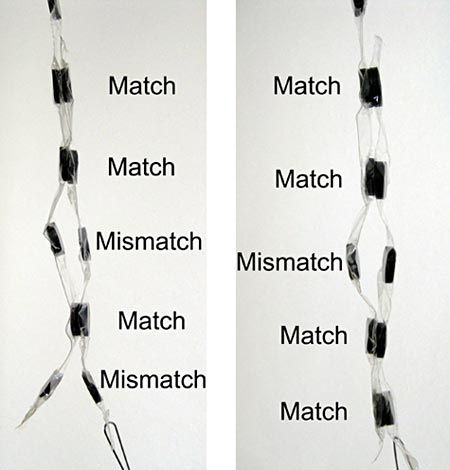 """In laboratories, DNA is copied using a process called Polymerase Chain Reaction, or PCR.  In the """"A Magnetic Primer Designer"""" biochemistry science project,  students can use magnets to investigate how DNA is copied during PCR.  A project kit is available to do this science project! [Source: Science Buddies]"""