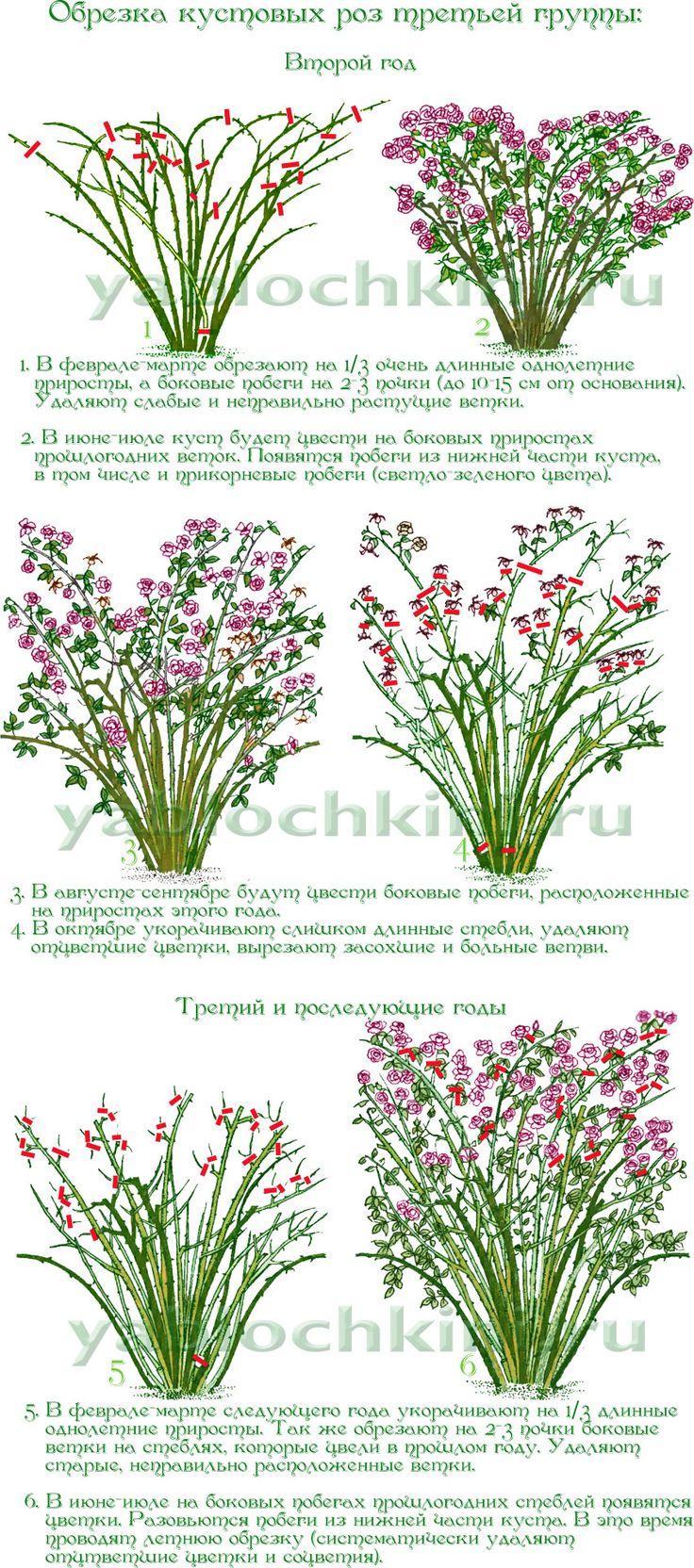 обрезка-кустовых-роз-третьей-группы