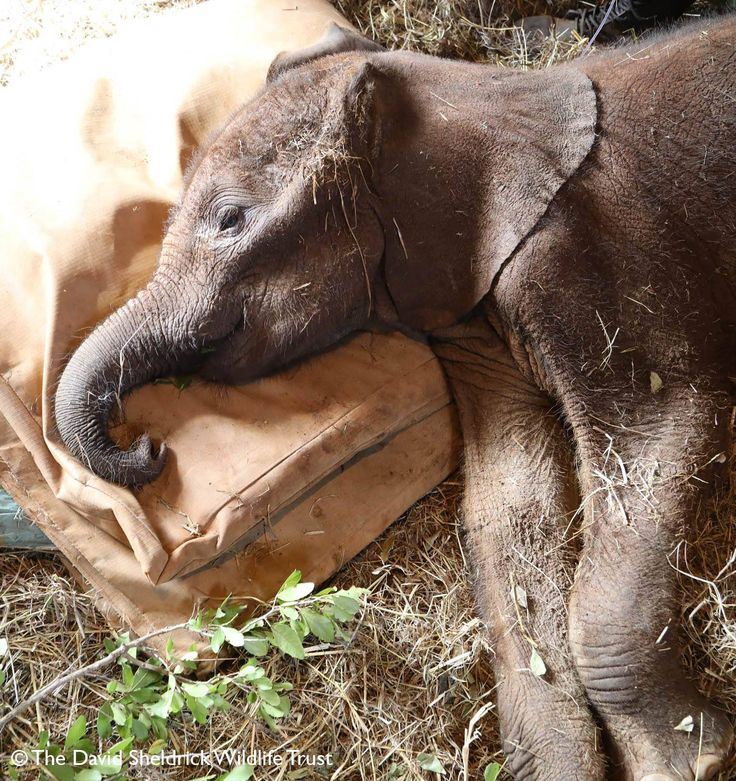 so easy to adopt an orphaned elephant through the David Sheldrick Wildlife Trust.
