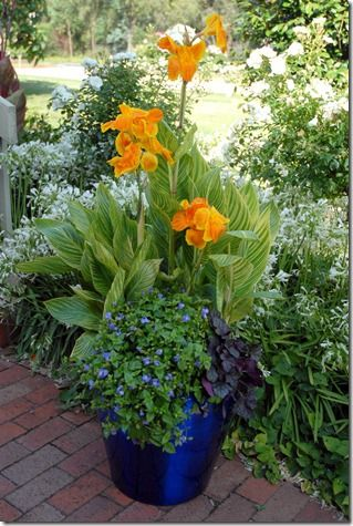 Orange tropical cannas in a cobalt blue container