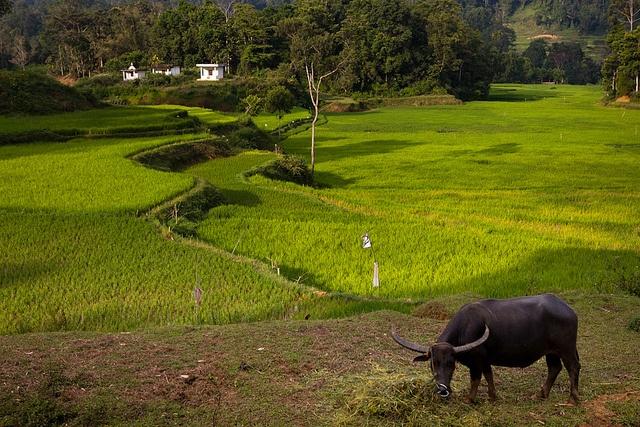Buffalo, Tana Toraja by Marji Lang, via Flickr