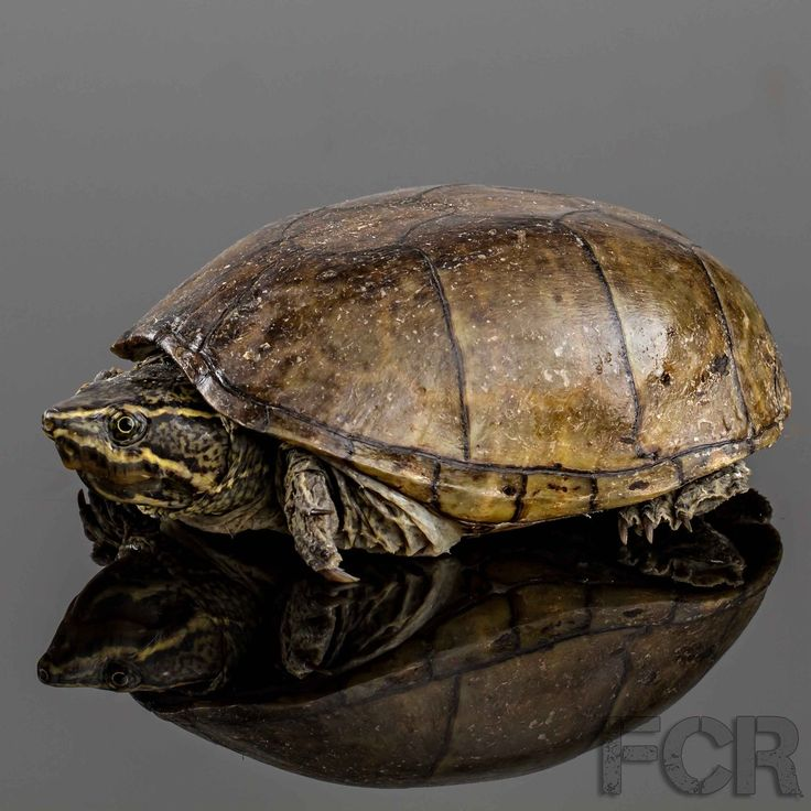 First Choice Reptiles - Eastern Mud Turtle For Sale, $45.00 (http://www.firstchoicereptiles.com/eastern-mud-turtle-for-sale/)