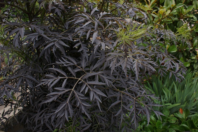Sambucus Black Lace