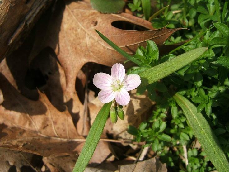 Spring Beauty - lovely native spring plant