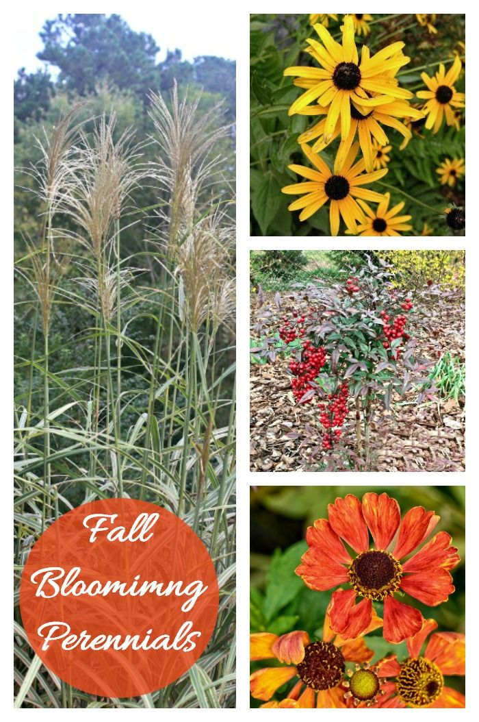 Fall blooming perennials and annuals for a bold pop of color fall blooming perennials and annuals for a bold pop of color top bloggers to follow on pinterest pinterest perennials bloom and garden mightylinksfo