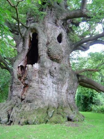 800 year old Fredville Oak (England)