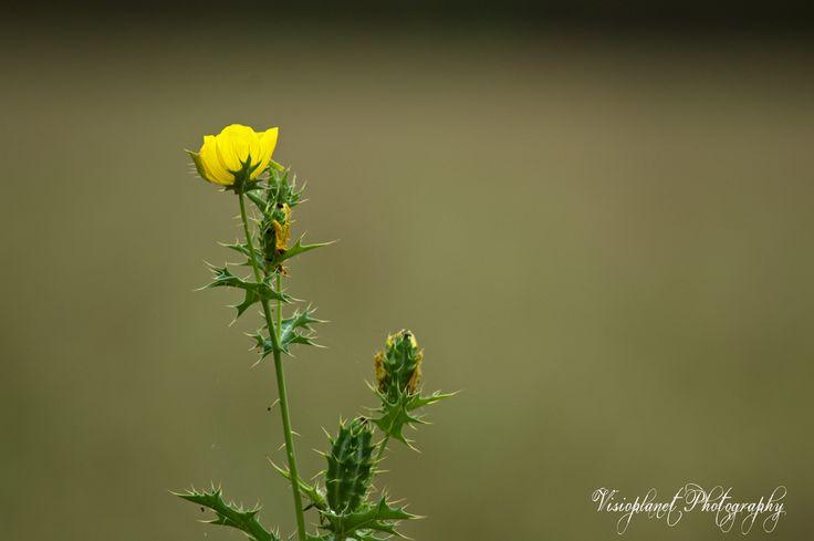 Cactus Flower #Mirzapur #Nature #NaturePhotography #Wildlife #WildlifePhotography