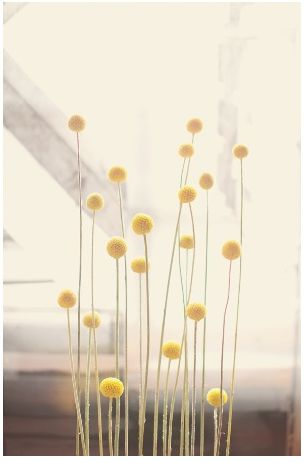Craspedia Billy Buttons! Had these in my wedding bouquet and the boutonierres. Yellow flowers love these flowers