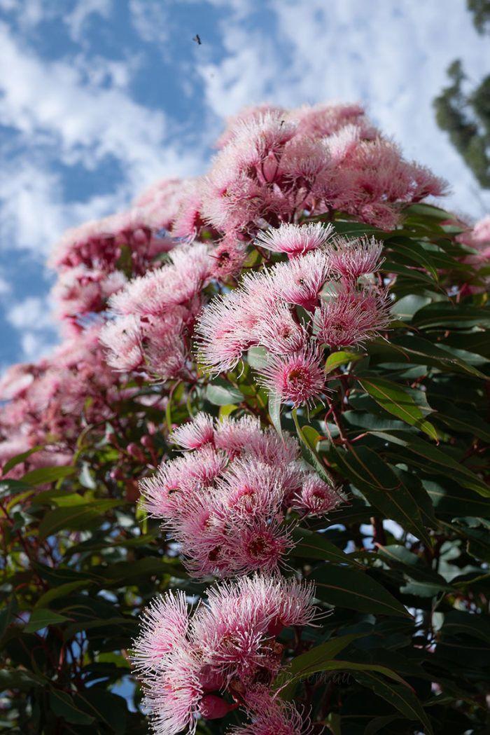 Eucalyptus Ficifolia Fairy Floss In 2020 Australian Native Garden Native Garden Australian Garden Design