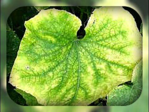 чтобы листья огурцов не желтели - YouTube