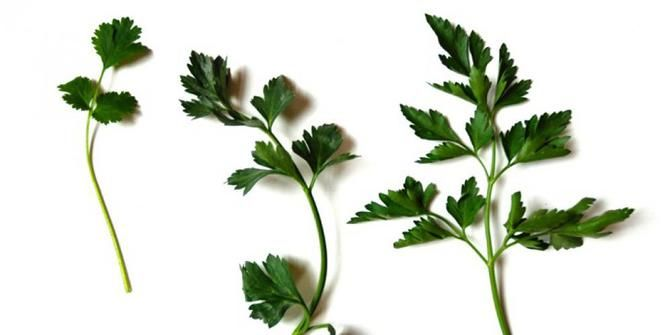 Cara membedakan daun ketumbar, seledri, dan peterseli. Khasiat daun ketumbar. Khasiat daun seledri. Khasiat daun peterseli