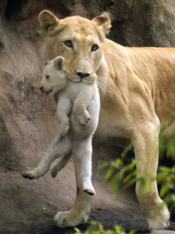 Mum with her offspring: a white lion!!!