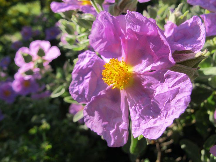 Les cistes souvent roses pâles. Ils sont qualifiés de rois de la garrigue.