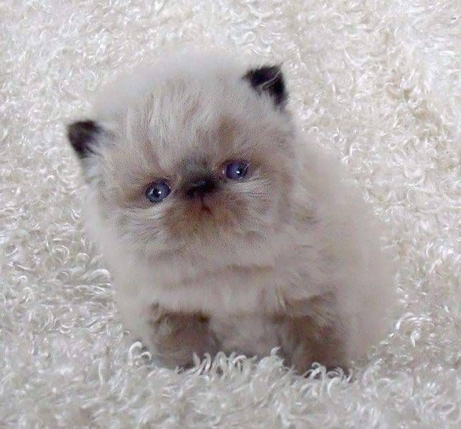 Pin By Claudine Owens On Furbabies Himalayan Kitten Pretty Cats Cute Animals