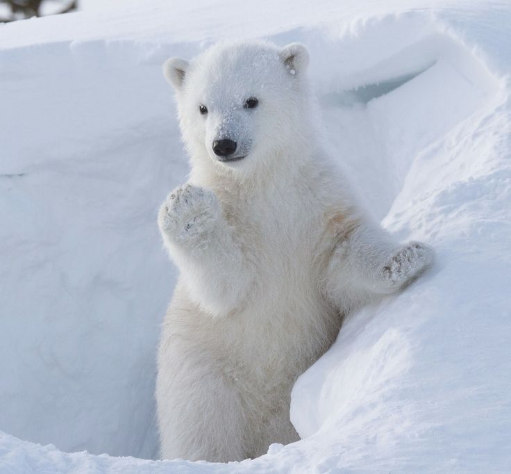 Photographer Greg Harvey captured a polar bear cub who took quite a shine to the camera. The 43-year-old wildlife photographer took the shots while he was in Wapusk National Park, Manitoba, Canada in March this year. The polar bear is seen waving adorably at Greg, and later even strikes a pose as if she is praying. (Rex/Greg Harvey)