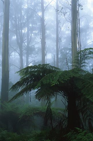 The misty forests of the Dandenong Ranges | 34 Reasons Australia Is The Most Beautiful Place On Earth