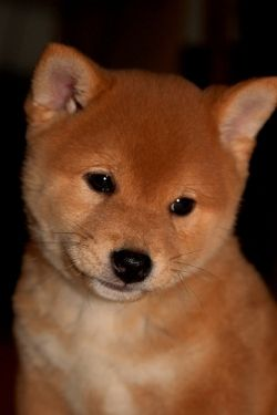 Shiba Inu, little brushwood dog. A very young pup. They really are this cute.