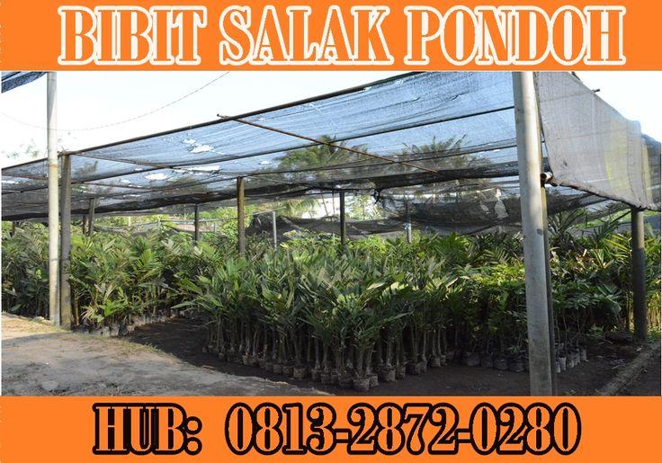 sedia Bibit Salak Pondoh. Pemesanan HUB : 0813 2872 0280 (Bpk. Subambang) Aktif 24 jam nonstop.