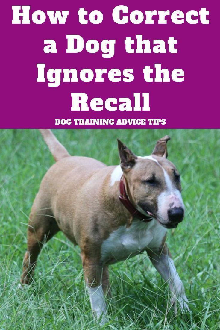 Is Your Dog Ignoring Your Recall Here S How To Correct It Dog Training Advice Tips In 2020 Dog Recall Dog Training Advice Dog Training Obedience