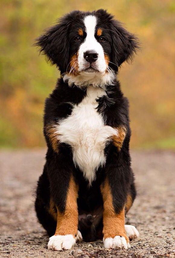 bernese mountain dog.