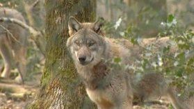 Un loup tué par balle dans la Marne - France 3 Champagne-Ardenne