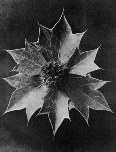 Eryngium maritimum, Sea holly, eryngo, bracts and capitulum, 4x