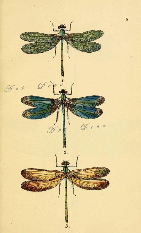 Vintage dragonfly art print, an antique scientific illustration, vintage printable digital download no. 1404