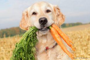Magyarországon kapható vegetáriánus kutyatápok