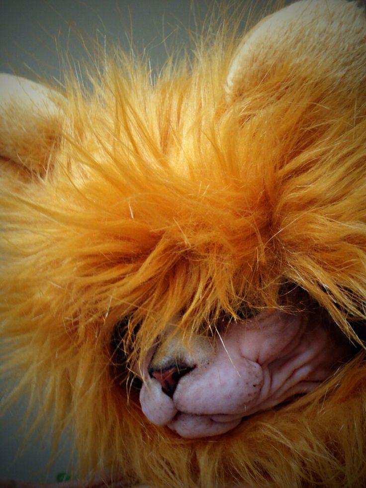 Lulu the lion