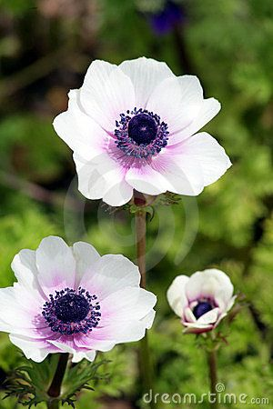 White and purple anemone--love these for wedding flowers